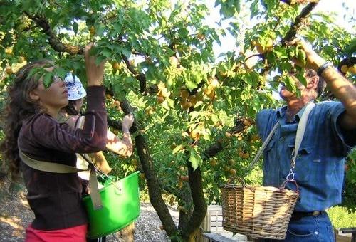 «Pas de ramassage de fruits cet été», les 16-18 ans n'ont plus le droit de travailler sur un escabeau