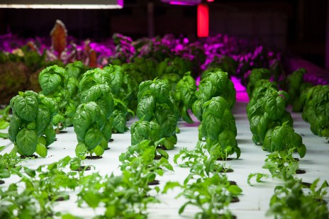Du basilique pousse dans The Plant, une ferme urbaine à Chicago (Plant Chicago, NFP/Rachel Swenie)