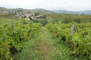 Dans les vignes du Beaujolais (Côtes de la Molière). Crédit : DD/Rue89Lyon.