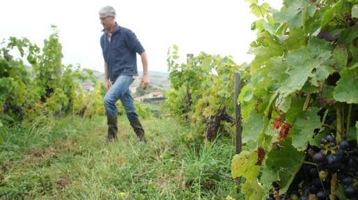 Bruno Perraud dans ses vignes, dans le Beaujolais (Côtes de la Molière)