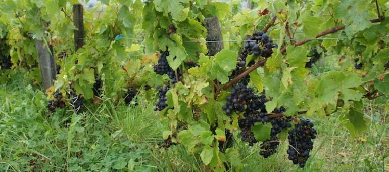 «Le Vin en question» : mon livre de Chauvet