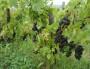 Raisins - vignes