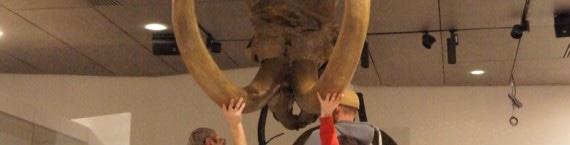 Montage des défenses du mammouth au musée des confluences. Crédit : GB/Rue89Lyon