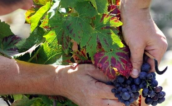Pesticides: un viticulteur bio poursuivi pour non traitement