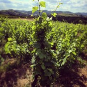Vigne non traitée par pesticides. ©Rue89Lyon