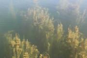 Myriophylles en épi sur le lac de Miribel (août 2015) - Crédit Eva Thiébaud