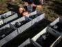 Face au changement climatique, le Beaujolais cherche le cépage idéal