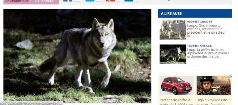 Après une séquestration, les éleveurs obtiennent l'abattage de six loups en Savoie
