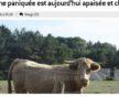 capture écran vache sauvée