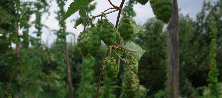Des filières locales de malt et de houblon pour nourrir l'«ogre brassicole«