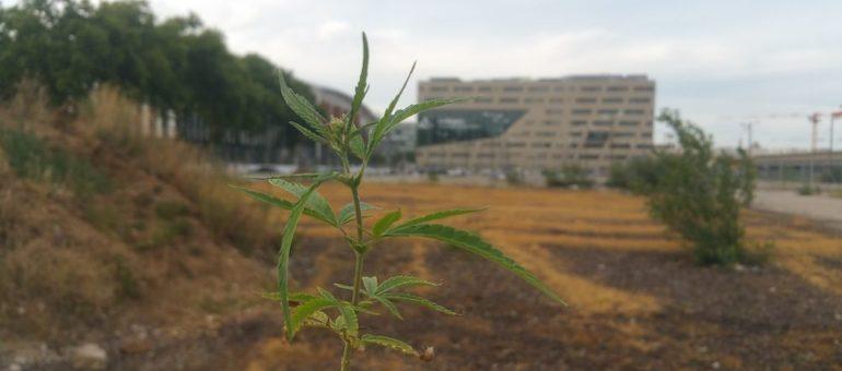 Quelle tête a la plantation artistique que la police a détruite, croyant découvrir un champ de cannabis ?