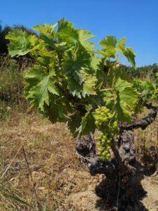 Photo prise à 11h38 le 28 juin, dans les vignes des Clos de Miège. Il fait déjà plus de 35°, mais la végétation est encore verte. ©Florence Monferran