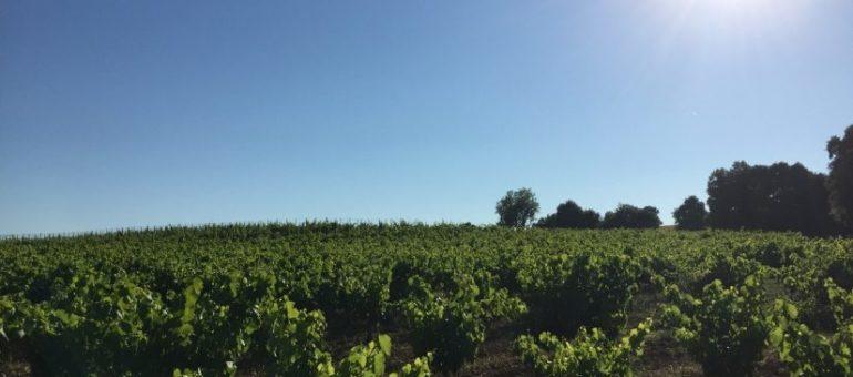 Vigneronne et témoin du changement climatique: «des vignes brûlées, grillées» dans le Sud de la France