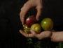 Tomates de variétés non hybrides et résistantes