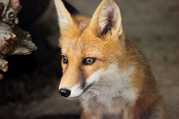 Mignon renard roux