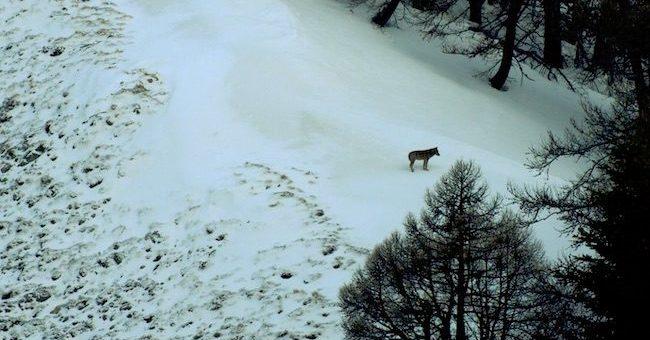 Un film en faveur des loups ? Laurent Wauquiez refuse d'afficher le moindre soutien