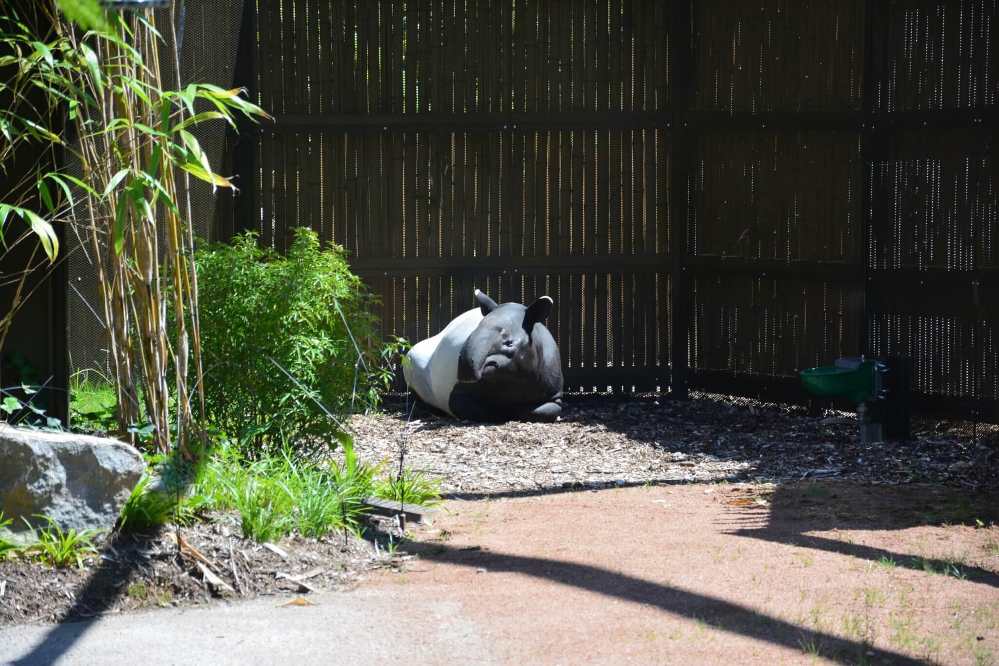 Un tapir malais du parc de la tête d'or