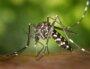 Un moustique tigre. Une image libre de droit par Pixabay.