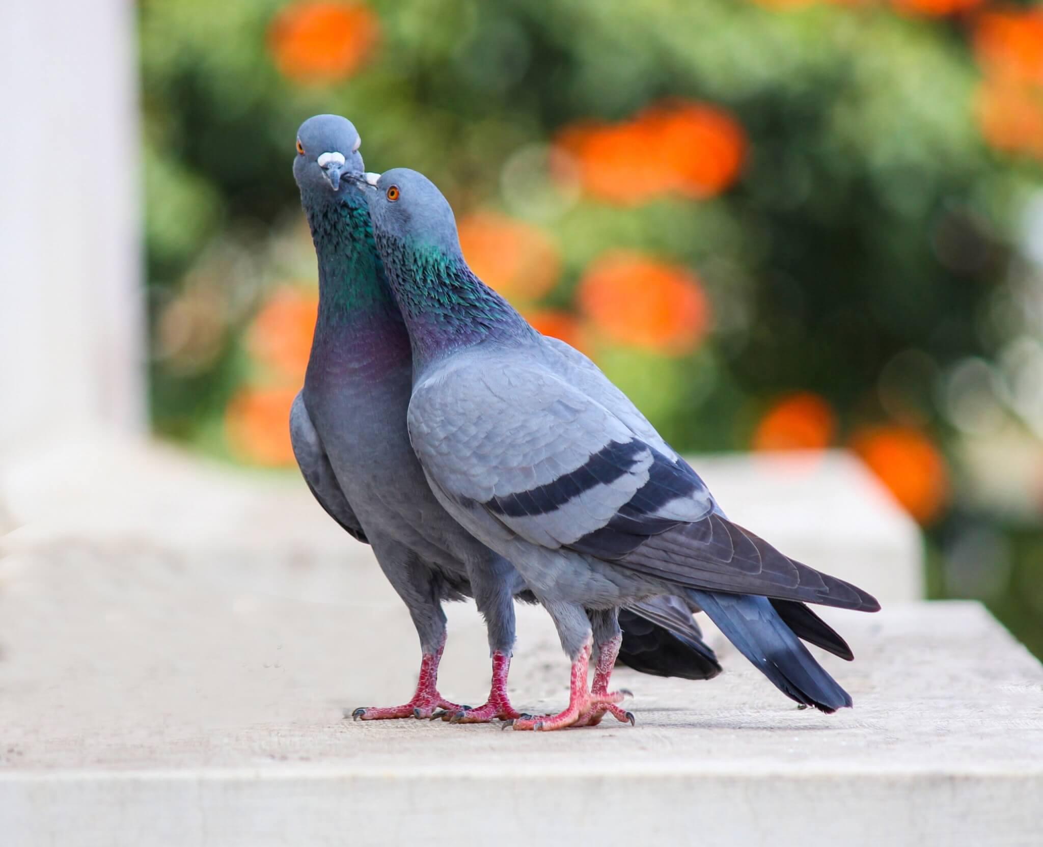 pigeons lyon