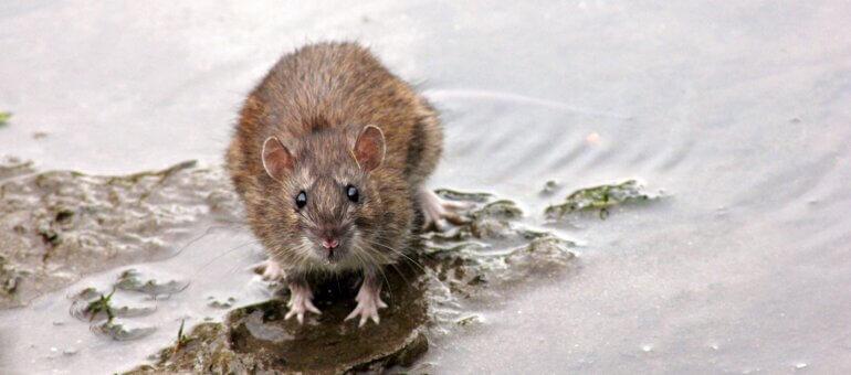 Les rats de Lyon : «Ils ne semblent plus craindre l'humain»
